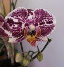 Выращивание орхидей (Orchidaceae) / Комнатные растения и цветы / Советы по выращиванию