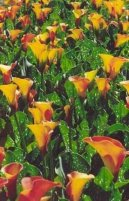 Зантедеския (Калла) (Zantedeschia) / Комнатные растения и цветы