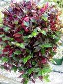 Зебрина повислая (Zebrina pendula) / Комнатные растения и цветы