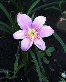 Зефирантес крупноцветковый (Zephyranthes grandiflora) / Комнатные растения и цветы