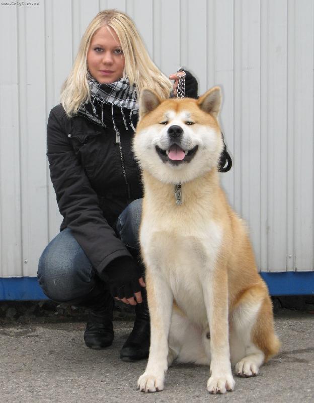 собака японская большая фото