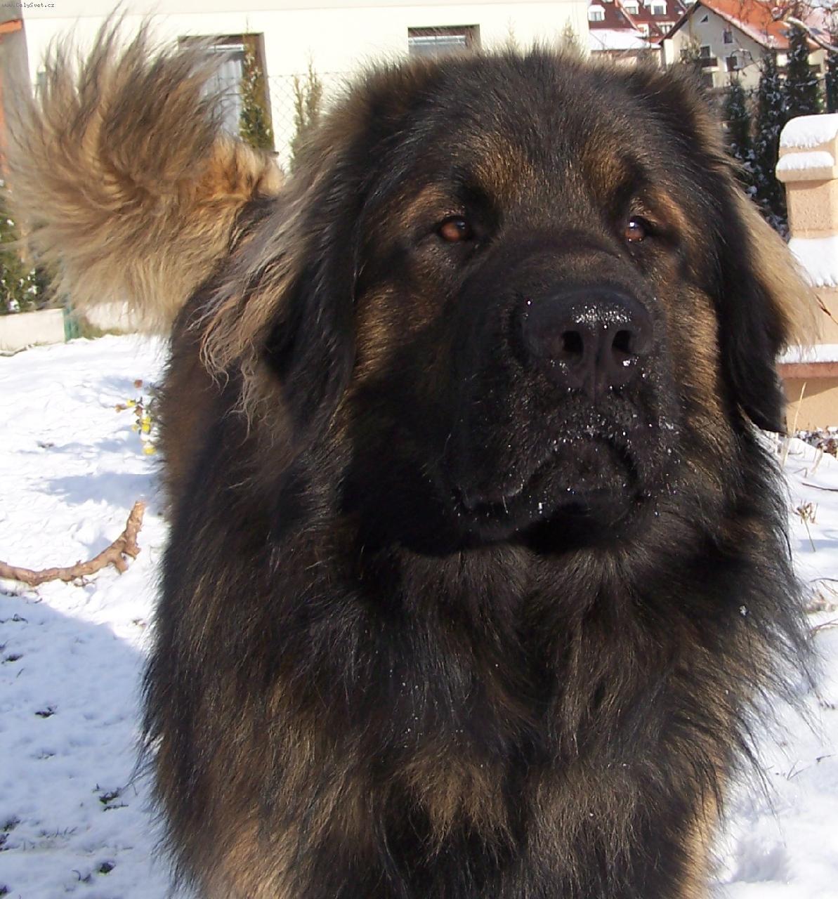 Giant Dog Breed Rescue Uk