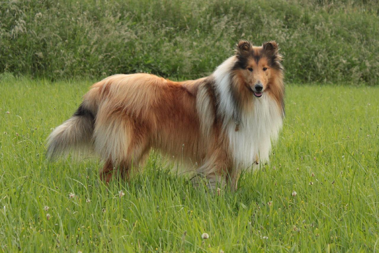 колли. шотландская овчарка фото