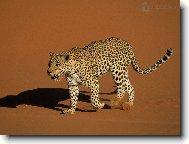 """Вышивка крестом.  Схема вышивки  """"Леопард """".  Предпросмотр."""
