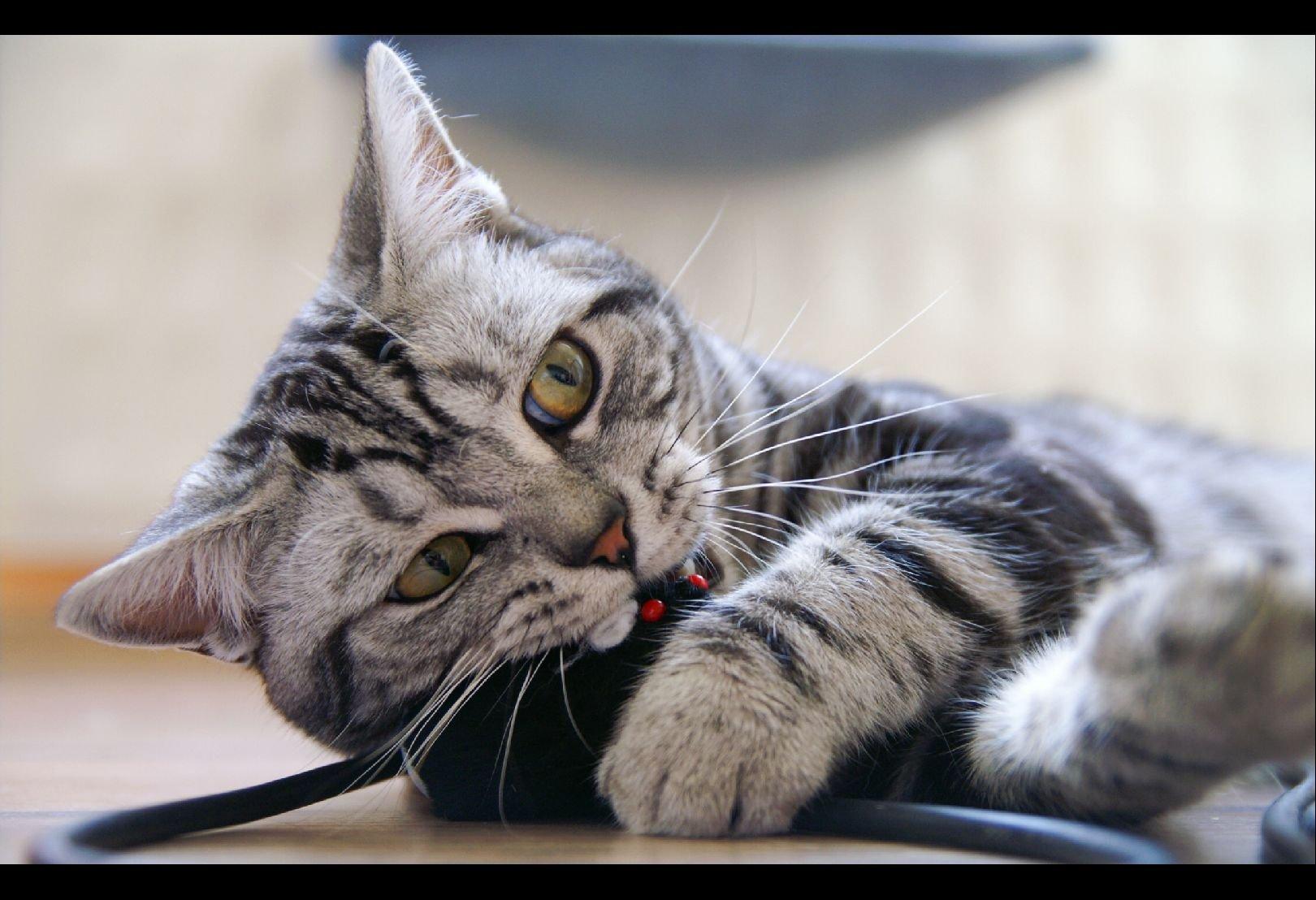 обои на стол кошки:
