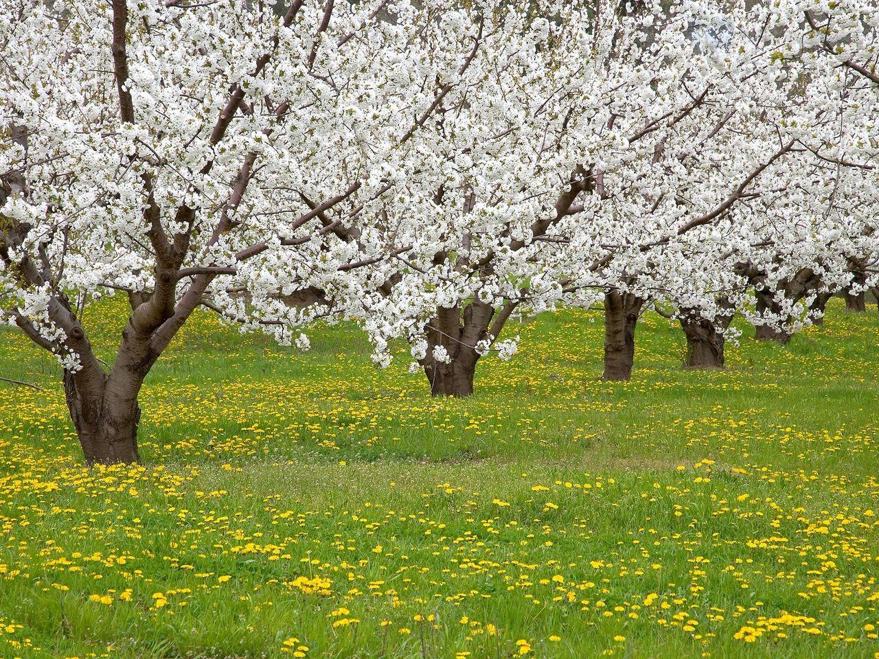 к чему цветет яблоня осенью приметы расчете транспортного налога