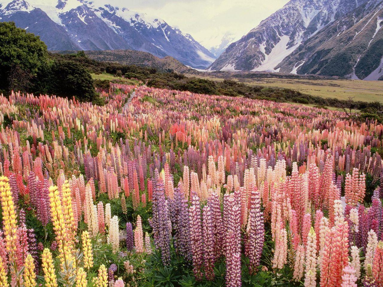 Его разноцветные соцветия длинными крупными свечами тянутся к небу.