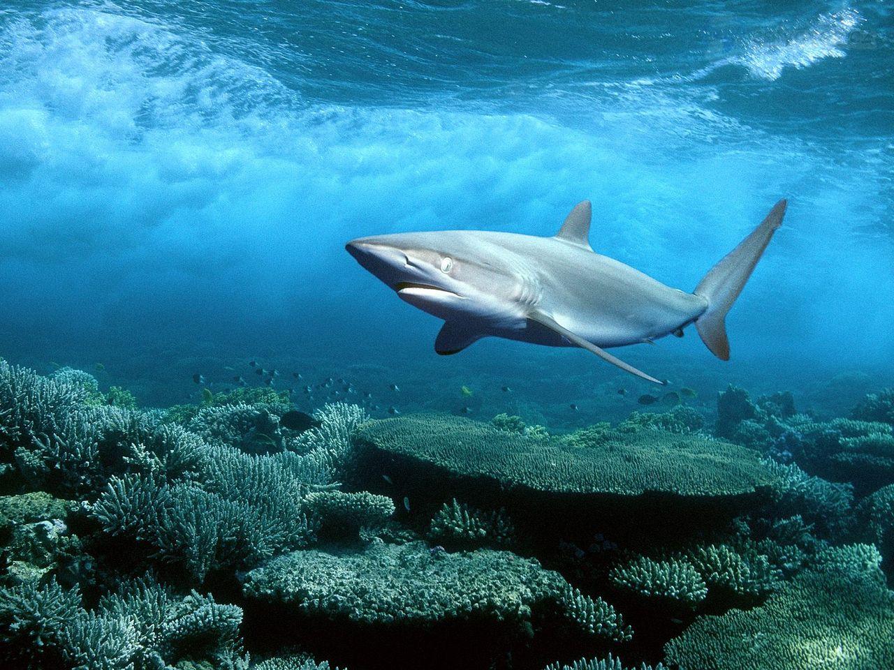 Http//www.topglobus.ru/krasne-fotky/staty/42/silky-shark--red-sea